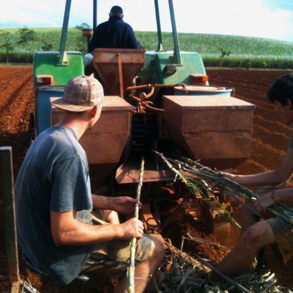 Suikerriet-planten-in-Australië