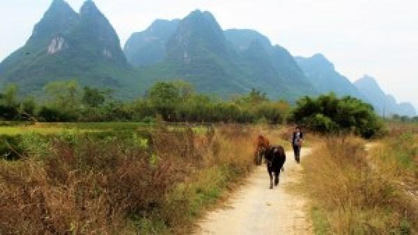 Koeien China