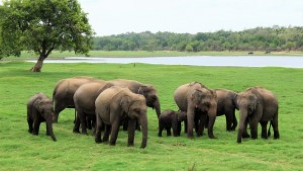 Olifanten Minneriya National Park