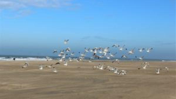 Zeemeeuwen op Vlieland