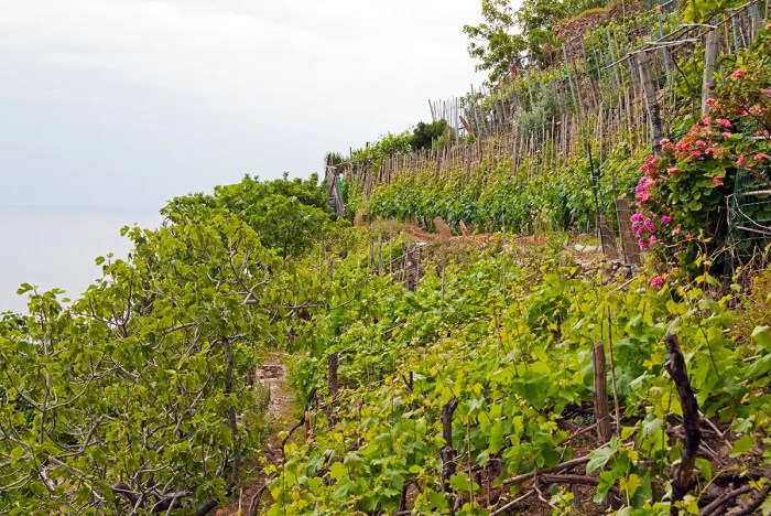Grapevines on the mountains