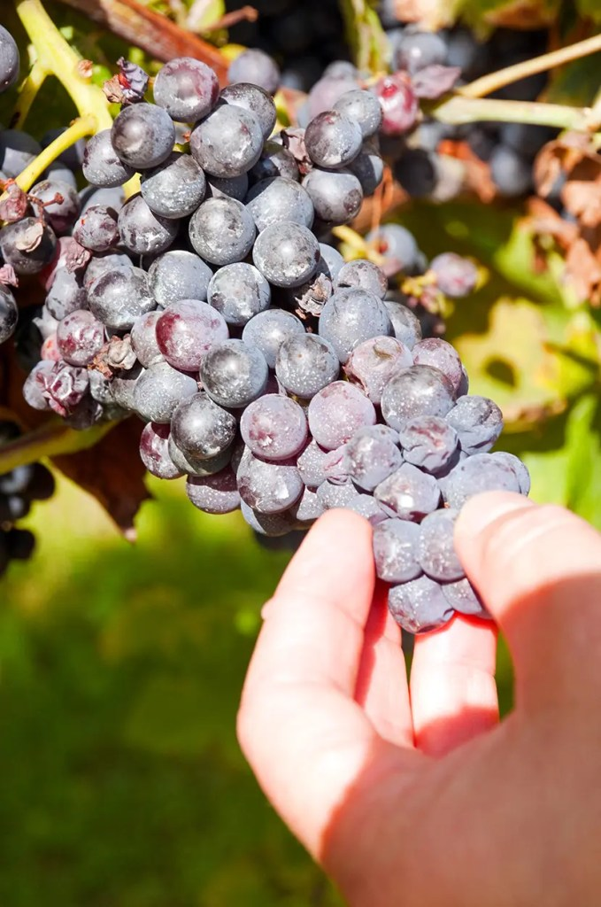Cristina shows some grapes that have had too much moisture this summer