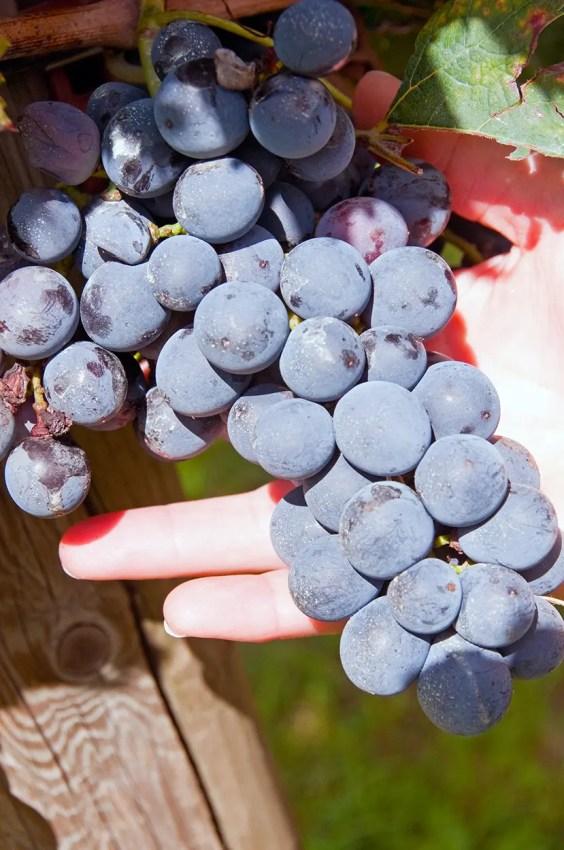 Corvinon grapes, Corte Aleardi, Italy