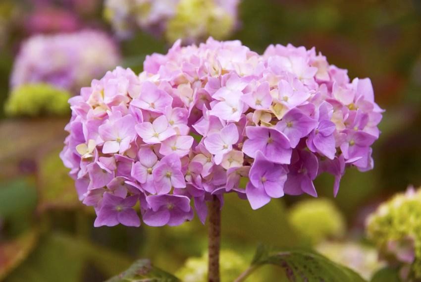 Hydrangea flowers, Ireland