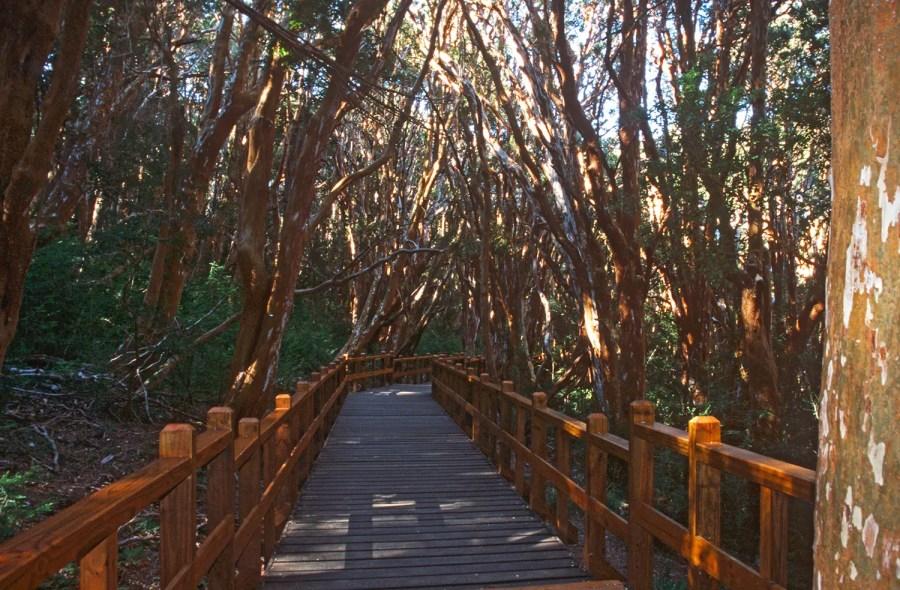 Wooden walkway winding through Parque Nacional Arrayanes, Villa la Angostura, Argentina