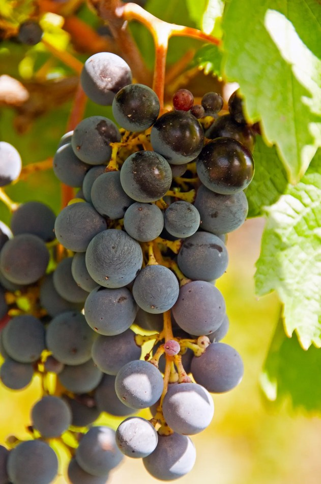 Grapes, Montefalco, Italy