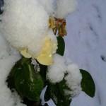 Róże kwitnące w grudniu i przysypane śniegiem - Andrychów 2017