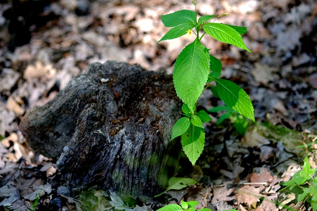 New shoot from a dead tree stump to show new growth