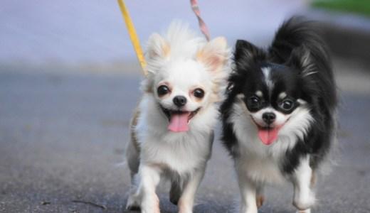 チワワの散歩をする頻度は1日2回がベスト?散歩嫌いは嘘!散歩しないは絶対にダメ!