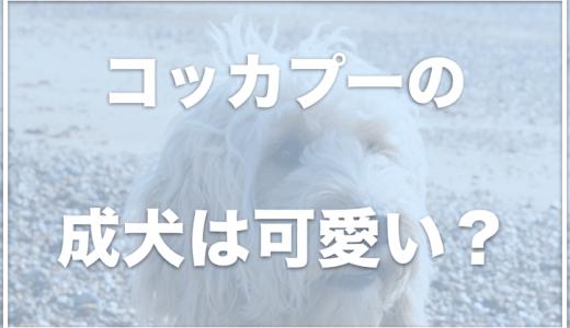 コッカプーの成犬は可愛い?抜け毛は多いの?大きさや体重・値段をチェック!