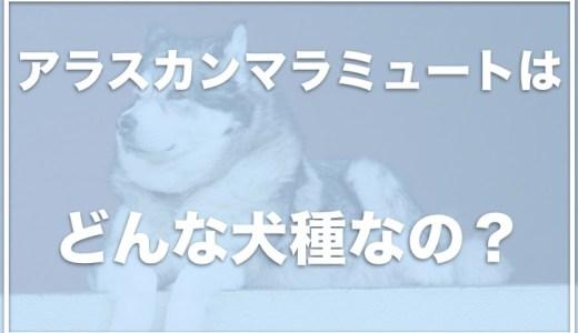 アラスカンマラミュートはどこで売ってる?販売しているブリーダーは日本にいるの?
