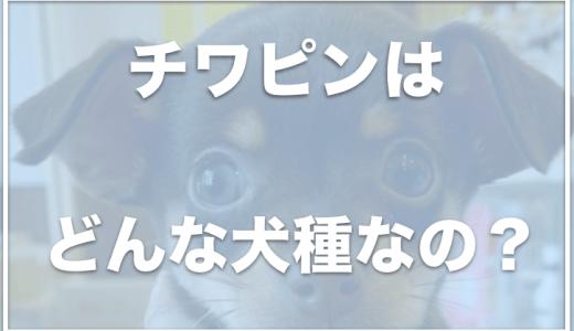 チワピンの寿命は長い?成犬は可愛い?値段や大きさ・体重も調査!