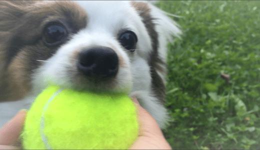小型犬で飼いやすい犬種、パピヨンの性格を大公開!抜け毛や運動はどれくらい?