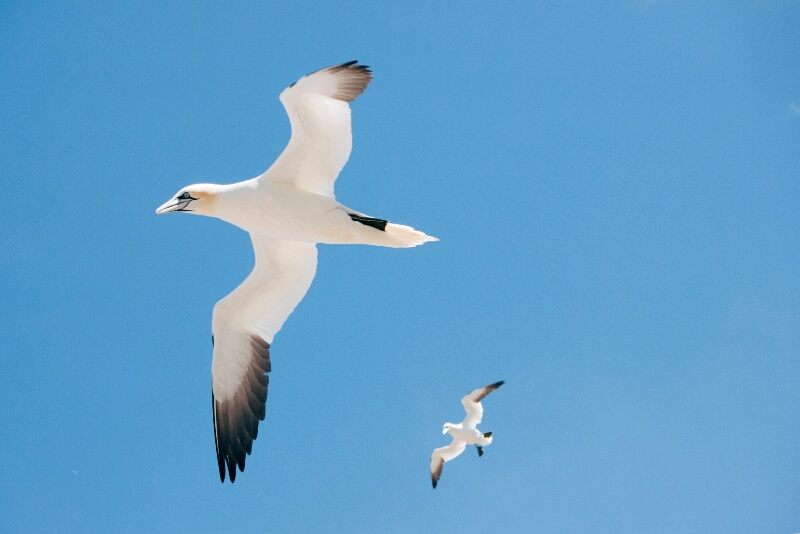 The northern gannets have a wingspan of up to 2 meters.