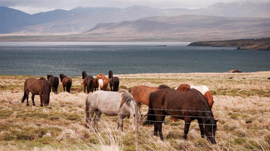 More cute Icelandic horses with the lovely fjord in the background.