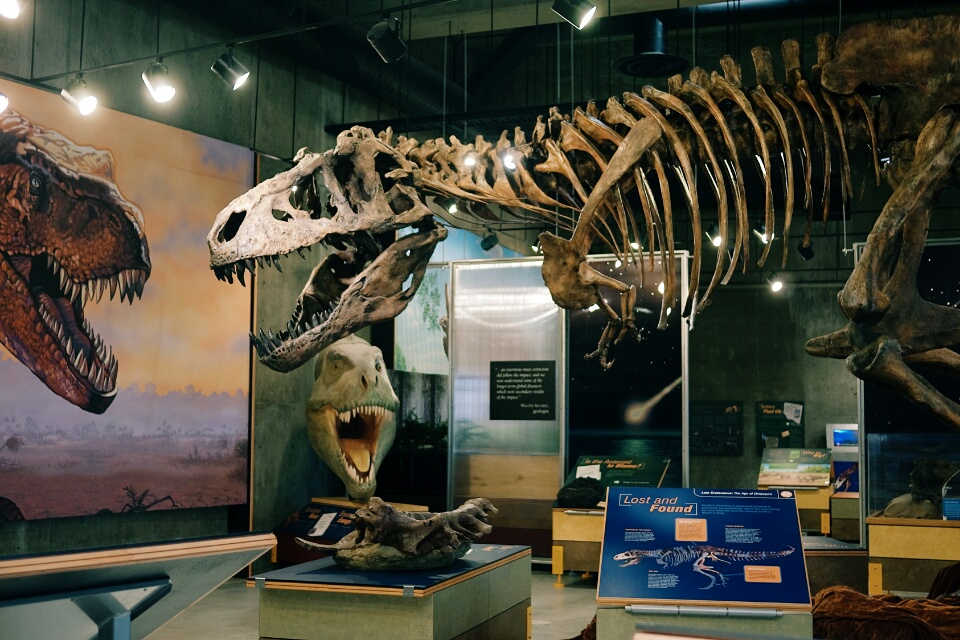 A replica of Scotty the T. Rex skeleton at the T. Rex Discovery Centre.
