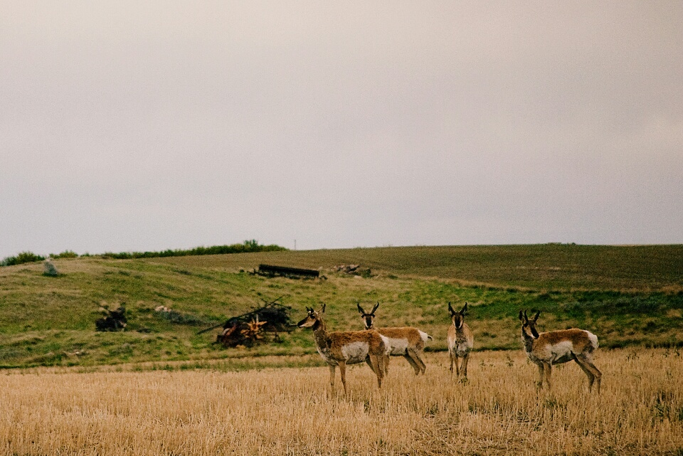 A herd of pronghorn antelopes.