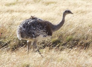 A small emu looking thing called a Rhea