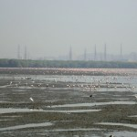 Bird Watching at Sewri Jetty – Flamingos in Mumbai