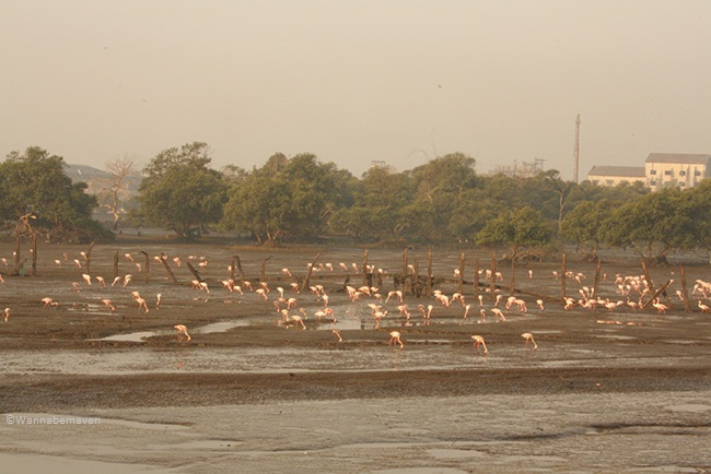 sewri jetty flamingos