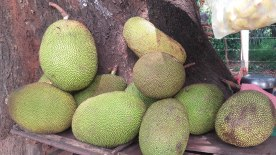 Jackfruit-sri-lanka2