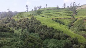 tea-estates-nuwara-eliya4