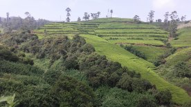 tea-estates-nuwara-eliya9
