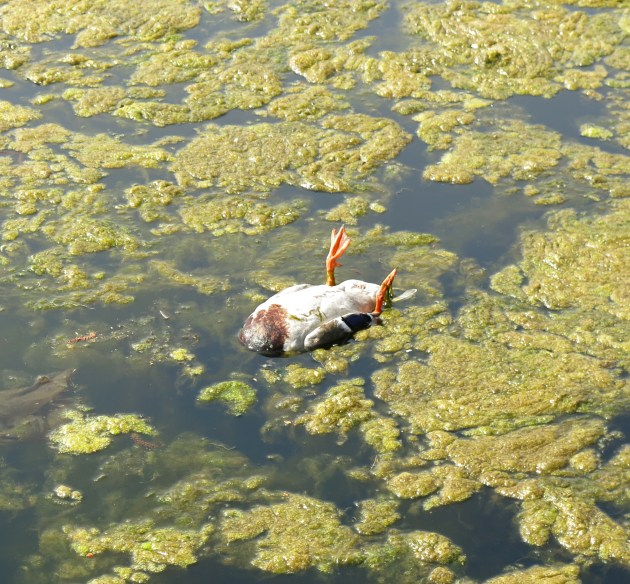 Dead Duck In Eagle Pond