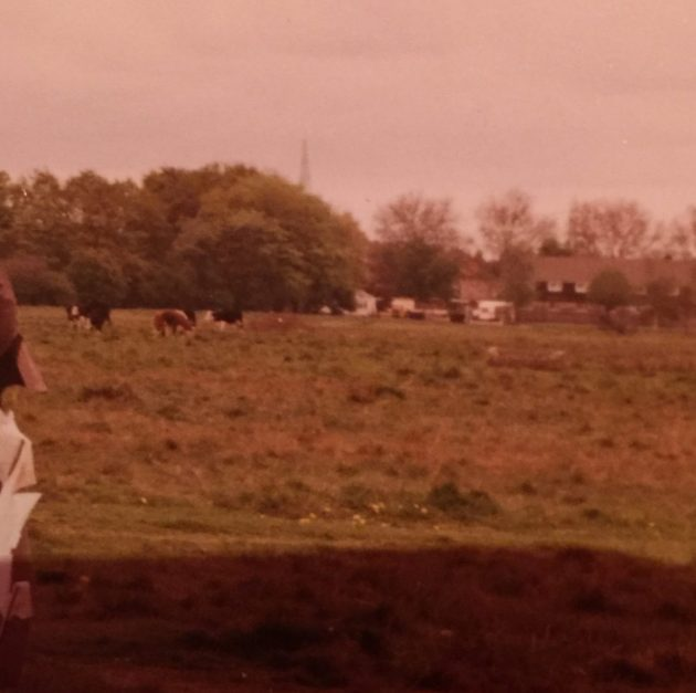 Cows on Wanstead Flats, about to chase kite-flying children. Photo: June Mitchell