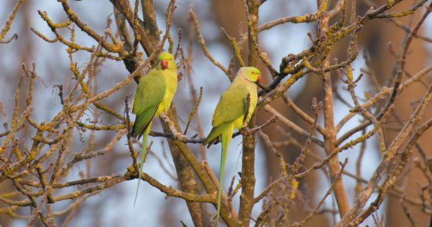 Ring Tail Parakeets in London
