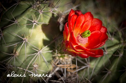 Cactus flower photograph copyright Alexis Marie Chute Wanted Chosen Planned
