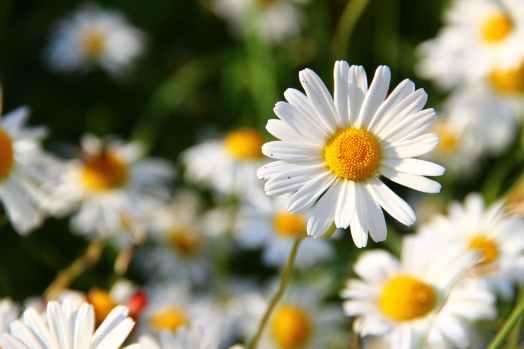 flowers meadow white flower