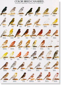 Colour Bred Canaries Poster #2