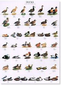 Ducks Poster #1