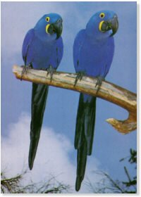 Hyacinth Macaws Pair Poster