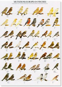 Mutation European Finches Poster