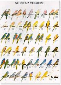 Neophema Mutations Poster