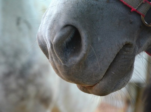 horse-jaw-890409_1280