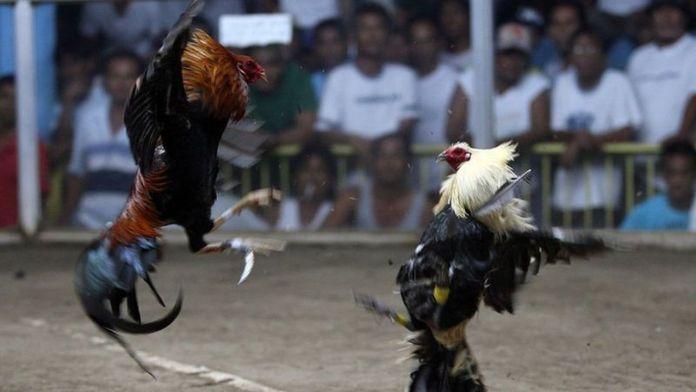 Бойцовый петух убил филиппинского полицейского
