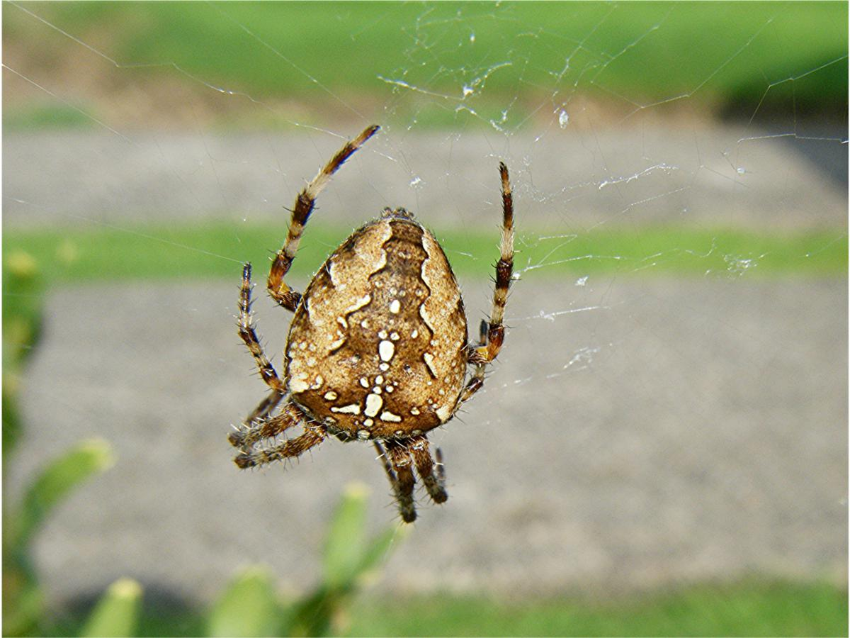 Image result for garden spider