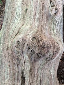 Great bleached trunk