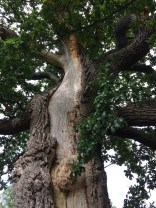 Lightening struck oak