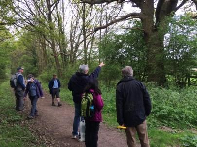 Surveying a veteran oak