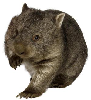wombats_av2