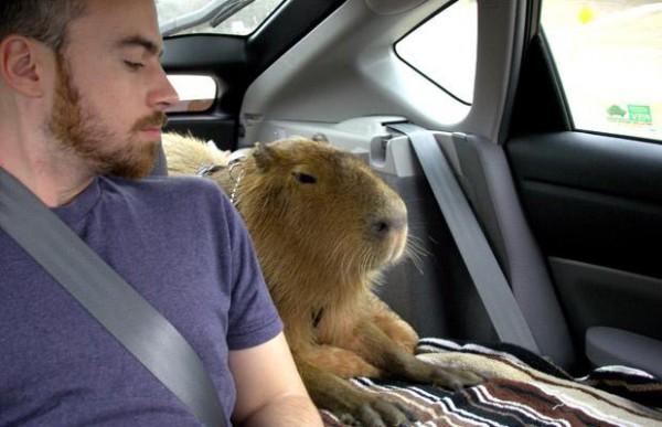 capibara-inthe-car