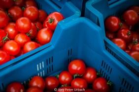 Tomaten im blauen Plastikbad