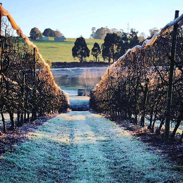 How gorgeous is this photo of the apple orchid. Spare a thought for Lauren's hands as she prunes the icy branches @fankhauserapples ・・・ There has been some frosty mornings while pruning