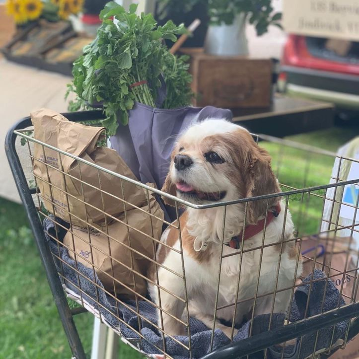 Suzie, just enjoying her ride in the market trolley because her legs were tired 😂😴 … fabulous pic @dogsofwarragulfarmersmarket