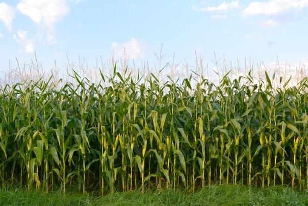 corn-field_shutterstock_96328715