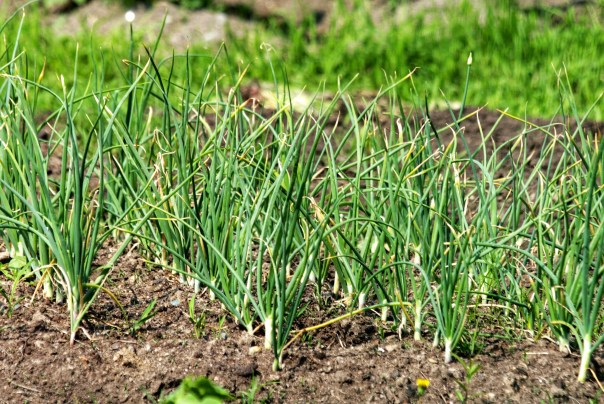 garlic growing